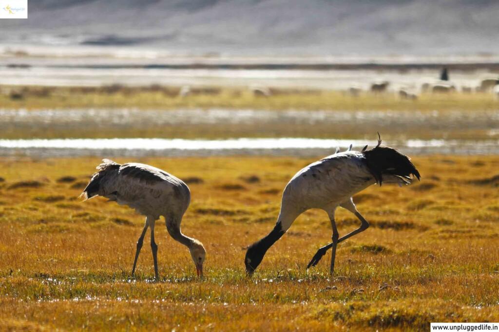 Black-necked Cranes, Unplugged Life, Himalayas, Ladakh, Leh View, View of Ladakh, Mountain View, Leh Ladakh Sightseeing Tour, Leh Ladakh Package, Book Ladakh Trip, Top Places in Ladakh, Sightseeing in Leh-Ladakh, Ladakh View, Leh Ladakh View, Landscape in Ladakh, birds,